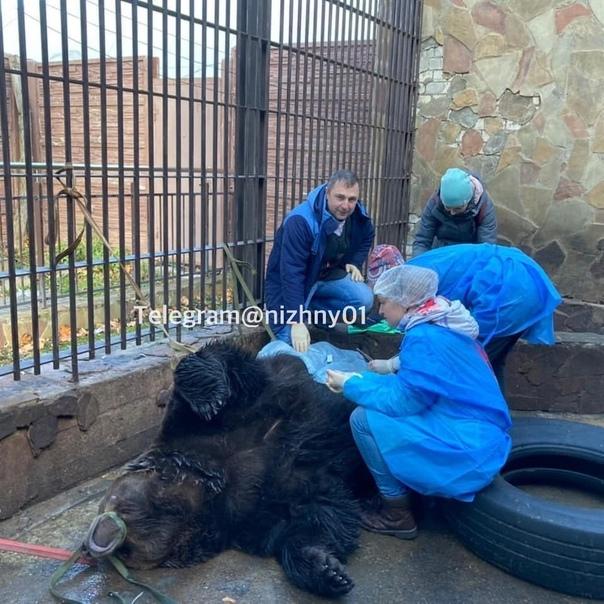 🐻 Это бурый медведь Потап из зоопарка «Мадагаскар»...